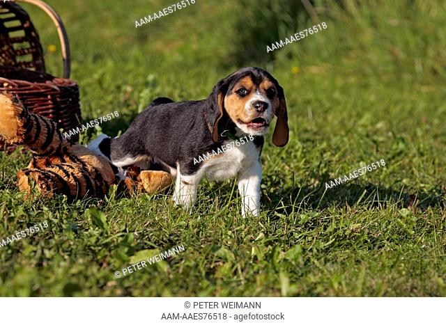 Beagle Puppy, (Mother: Bea of lucky-sun; Breeder: Y. Otte), Wolnzach, Bavaria, Germany