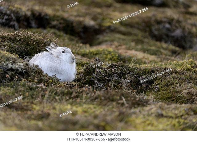 Mountain Hare (Lepus timidus) adult, in transition from winter to summer coat, sitting amongst heather on hillside, Grampian Mountains, Highlands, Scotland