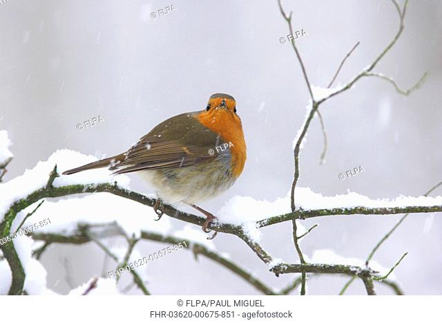 European Robin Erithacus rubecula adult, perched on snow covered twig during snowfall, Yorkshire, England, december