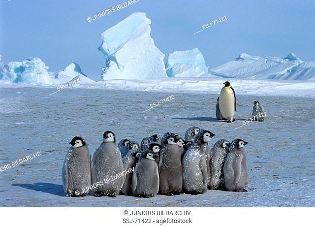 aptenodytes forsteri / emperor penguin