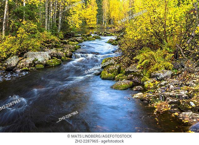 Creek running through autumn landscape with yellow birches, kuhmo, Finland
