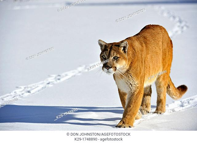 Cougar, Puma, Mountain lion Puma concolor , Bozeman, Montana, USA
