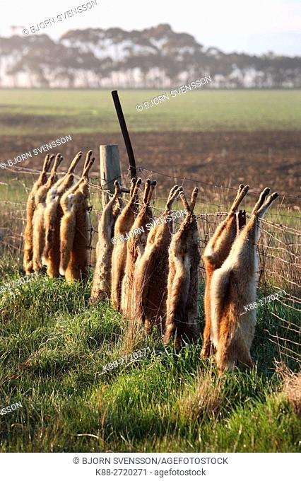 Feral foxes are sometimes hanged on fences after being killed by hunters. Victoria, Australia