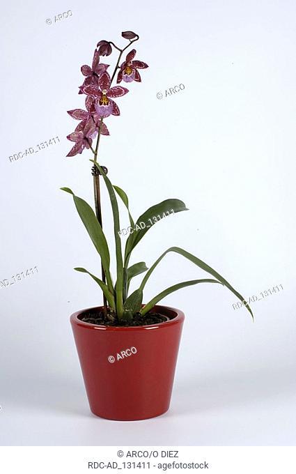 Orchid Vuylstekeara