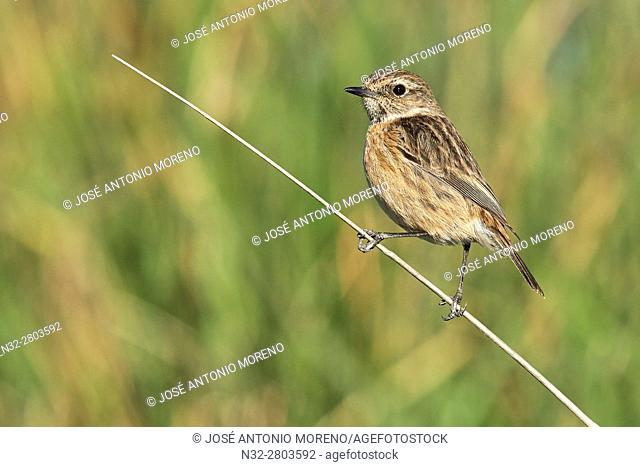 Stonechat (Saxicola torquata) adult female. Malaga, Andalusia, Spain