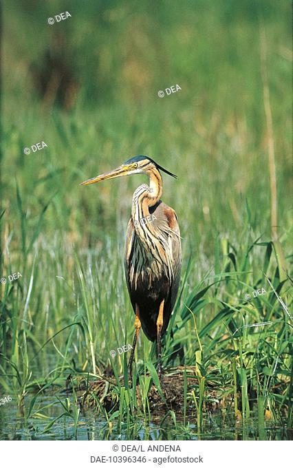 Zoology - Birds - Red heron