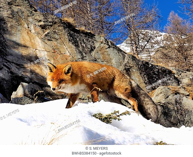 red fox (Vulpes vulpes), wandering through snowy rocky mountain landscape, Italy, Val d'Aosta
