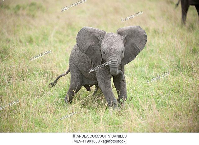 Mammal. Afrian Elephant calf, Masai mara, kenya