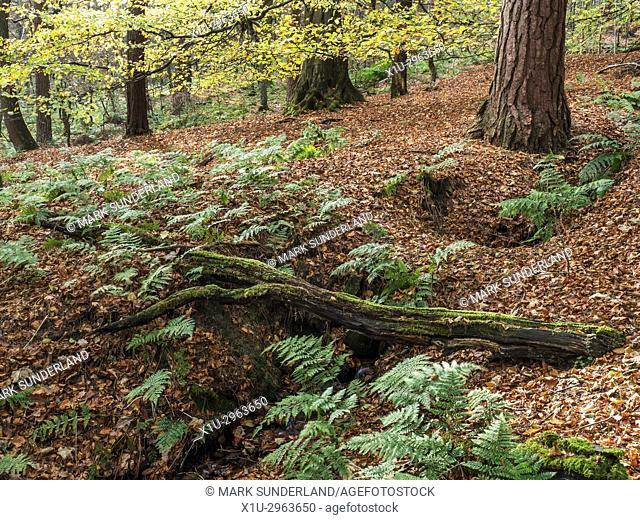 Fallen Tree in Abel Cote Wood in Autumn near Pecket Well Hebden Bridge West Yorkshire England