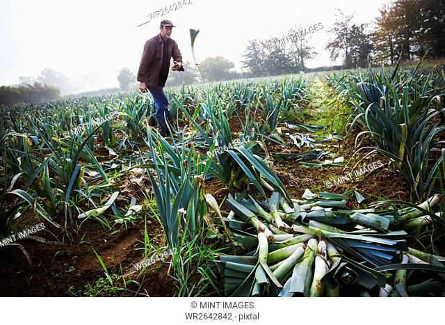 A man standing among the leek crop in a field, throwing a fresh vegetable onto the pile on the soil