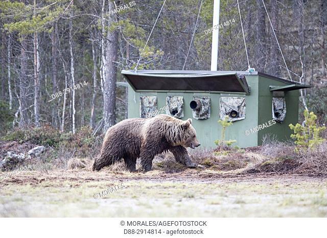 Europe, Finland, Kuhmo area, Kajaani, photography hide
