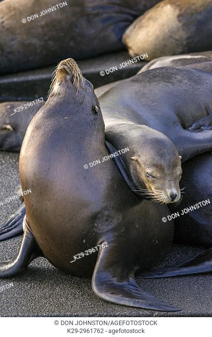 California sea lion (Zalophus californianus) Males lounging on a wharf, Newport, Oregon, USA