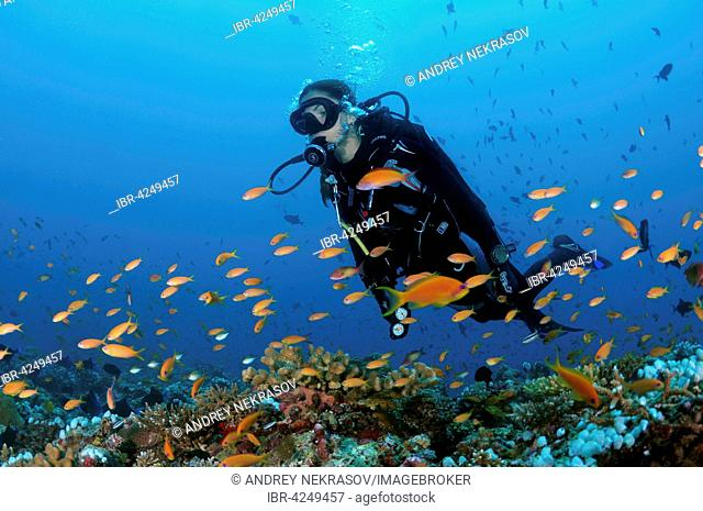 Female diver swimming above coral reef, looking at brightly coloured fish, Indian Ocean, Maldives