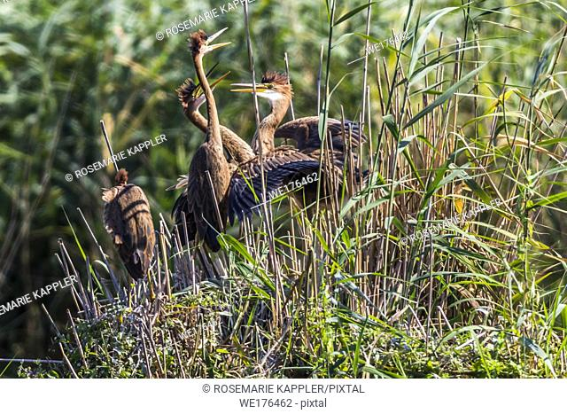 Germany, Baden-Württemberg, Waghäusel - Young purple herons in their hideout in the reed neer Waghaeusel in germany