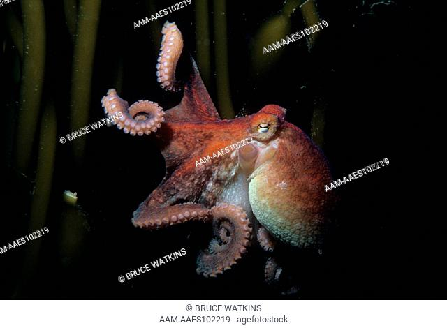 Red Octopus on Macrocystis (octopus rubescens) California