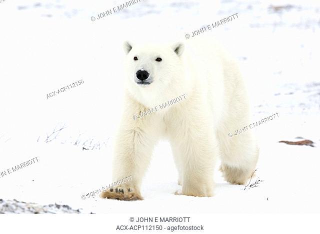 Polar bear, Ursus maritimus, Cape Churchill, Manitoba, Canada