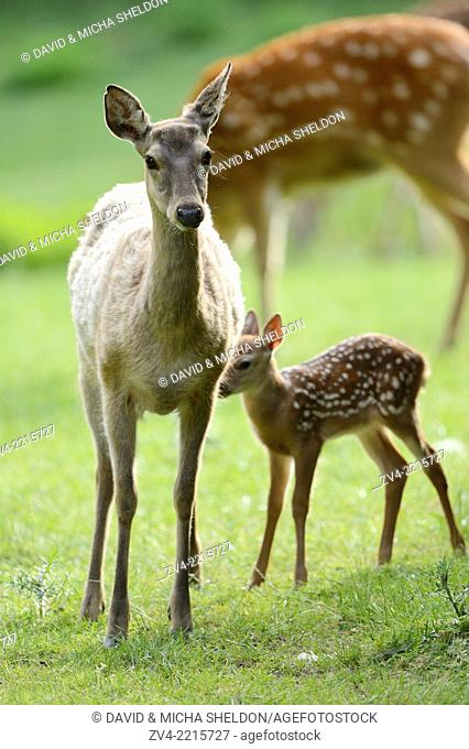 Close-up of a sika deer (Cervus nippon) mother with her fawn on a meadow in spring