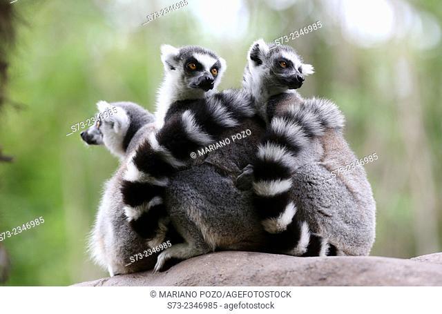 Ring Tailed Lemur, Lemur catta