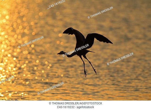 Grey Heron Ardea cinerea - Flying across Sunset Dam at sunset  Sunset Dam, Kruger National Park, South Africa