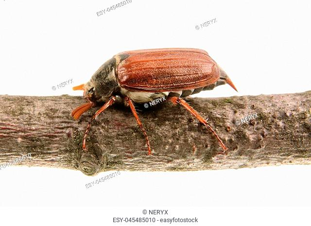 Cockchafer (Melolontha melolontha) isolated on a white background