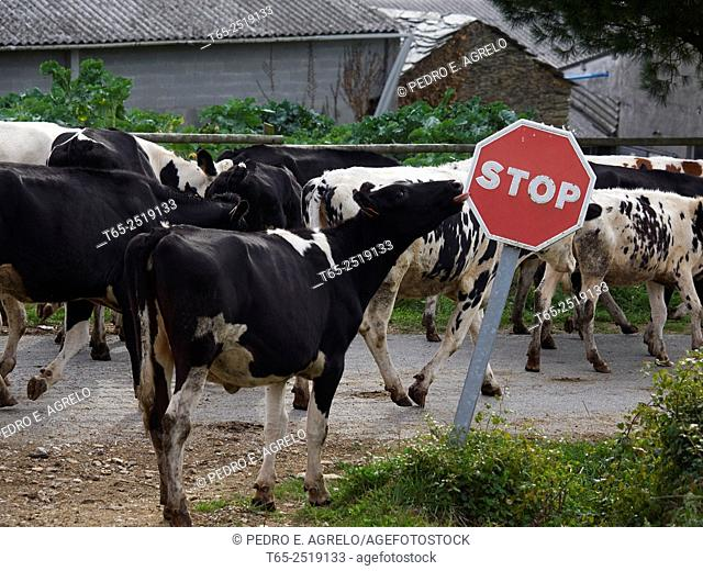 Sector Lacteo.- In Castroverde, Lugo Farm milk Montecubeiro, one of the farms are forced to pull production, because of the blockade collection industries