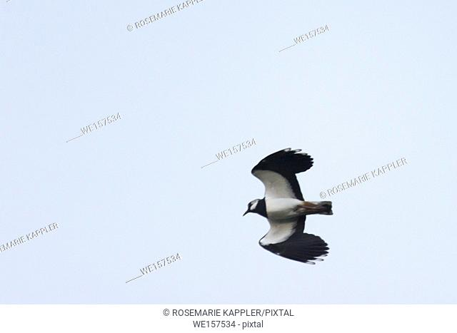 Germany, Saarland, Homburg - A Lapwing is searching for fodder