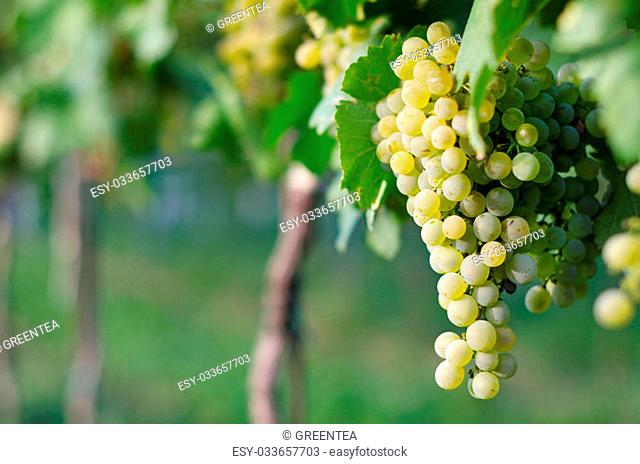 View of vineyard row with bunches of ripe white wine grapes. Wonderful photo with selective focus and space for text
