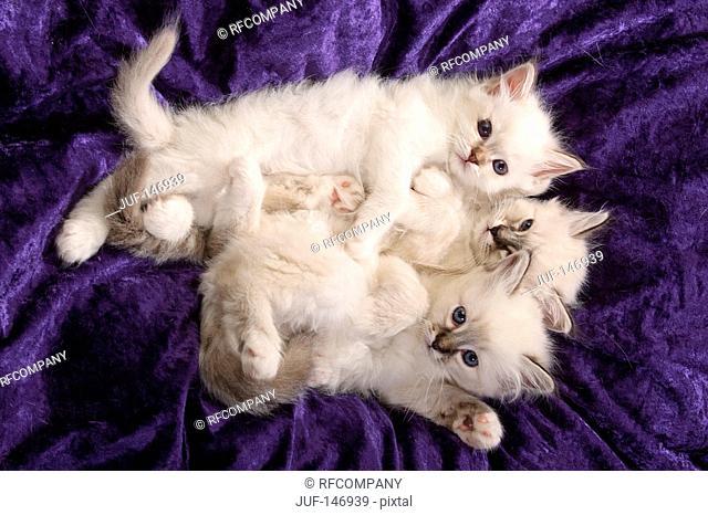 three sacred cat of burma kitten - lying