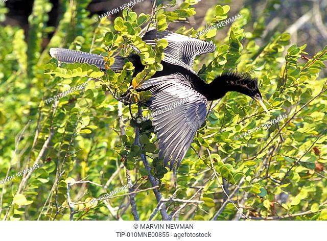 USA, Florida, Everglades National Park: anhinga