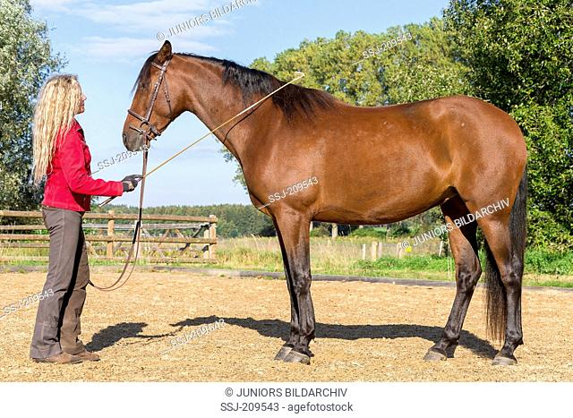 Domestic horse. Woman adapting a juvenile bay mare to the whip. Germany