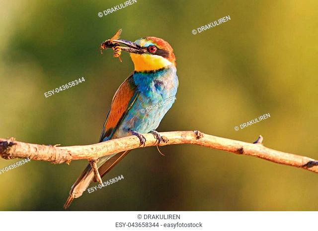 exotic bird of hornets in its beak at sunset , wildlife, birds