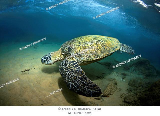 green sea turtle, green turtle, black (sea) turtle, or Pacific green turtle (Chelonia mydas), Indian Ocean, Hikkaduwa, Sri Lanka, South Asia