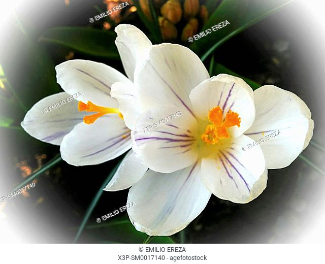 Saffron. Crocus sativus