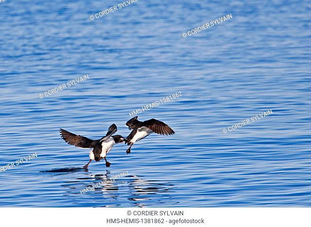 Norway, Svalbard, Spitsbergen, Thick-billed Murre or Brünnich's Guillemot (Uria lomvia), fight in flight