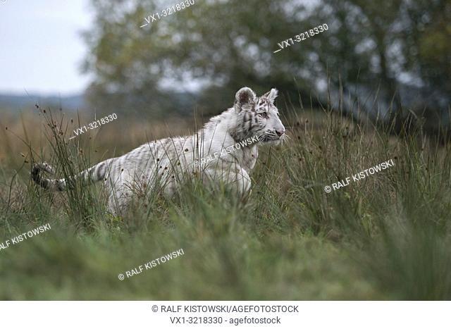 Royal Bengal Tiger / Koenigstiger ( Panthera tigris ), big cat in action, running, jumping, hunting, on grassland, side view, typical surrounding