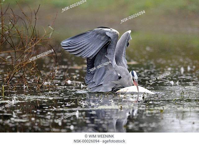 Grey Heron (Ardea cinerea) in the water with a large caught fish, The Netherlands