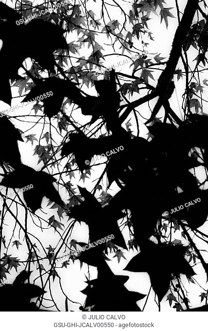 Silhouette of Maple Tree branches and Leaves against Sky