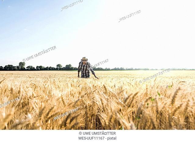 Senior farmer in a field examining ears