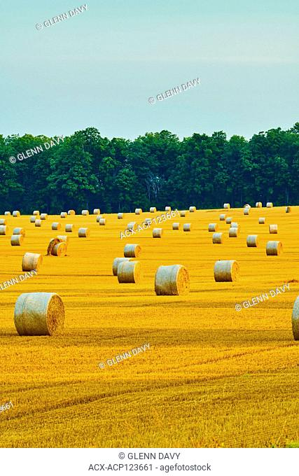 Straw bales rolled and ready for pickup, Dufferin County, Ontario, Canada