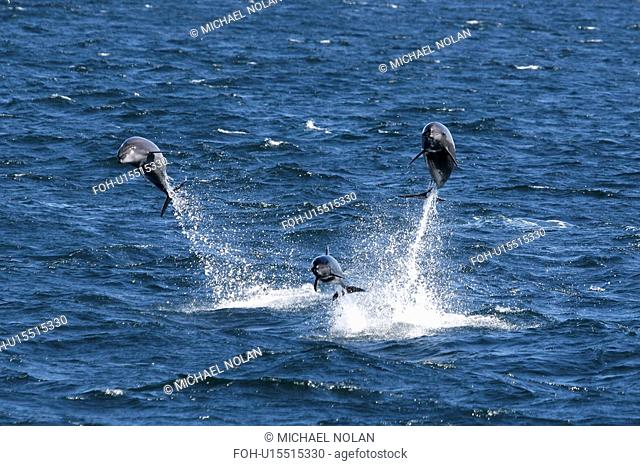 Bottlenose Dolphins Tursiops truncatus Three adults leaping. Gulf of California Sea of Cortez, Mexico