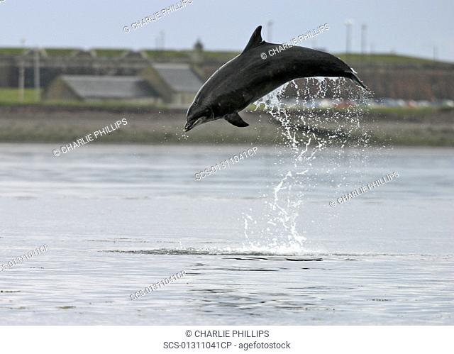 Bottlenose dolphin Tursiops truncatus truncatus leaping 2 metres above the surface 1 or 2 images Moray Firth, Scotland