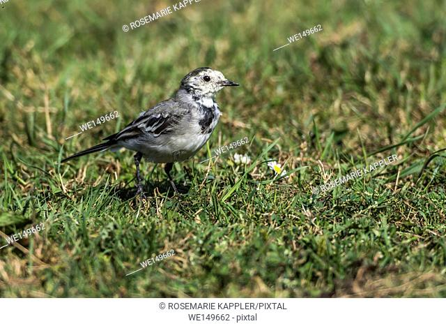germany, saarland, bexbach - A white wagtail is searching for fodder
