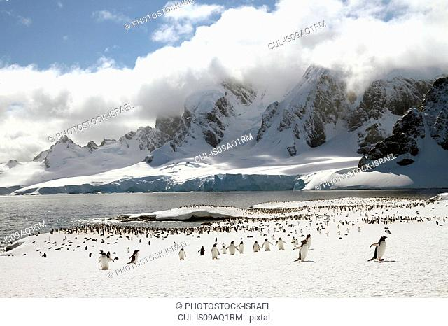 Colony of Gentoo penguins (Pygoscelis papua) on Cuverville Island, Antarctica