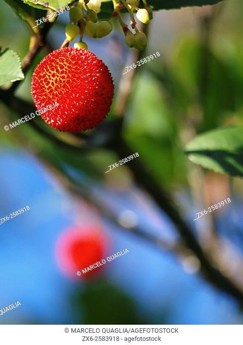 Strawberry tree fruit or Arbutus berry - madroño (Arbutus unedo). Autumn at Montseny Natural Park. Barcelona province, Catalonia, Spain
