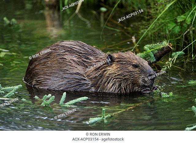 Beaver Castor canadensis near the Testa River along the Alaska Highway in Northwest British Columbia, Canada
