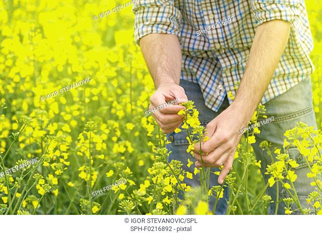 Farmer checking oilseed rape crop