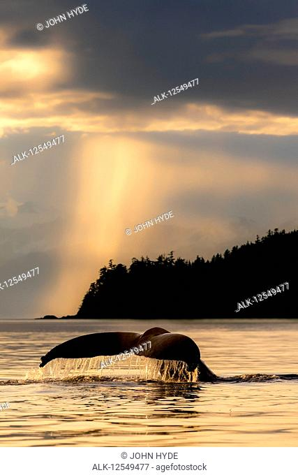 Humpback whale (Megaptera novaeangliae) lifts it's fluke as it feeds in Lynn Canal at sunset, Southeast Alaska; Alaska, United States of America