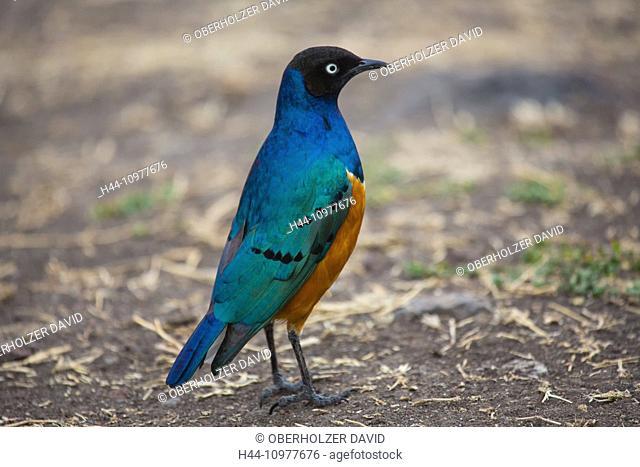 Africa, superb starling, lamprotornis superbus, Ngorongoro, Conservation area, protective area, Ngorongoro crater, travel, savanna, Tanzania, East Africa