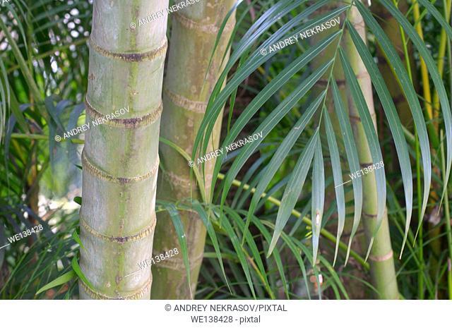 Bamboo forest, Taman Negara National Park, Malaysia, Southeast Asia