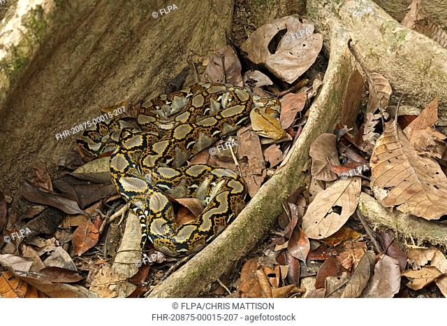 Reticulated Python Python reticulatus adult, coiled on rainforest floor, Sukau River, Sabah, Borneo, Malaysia